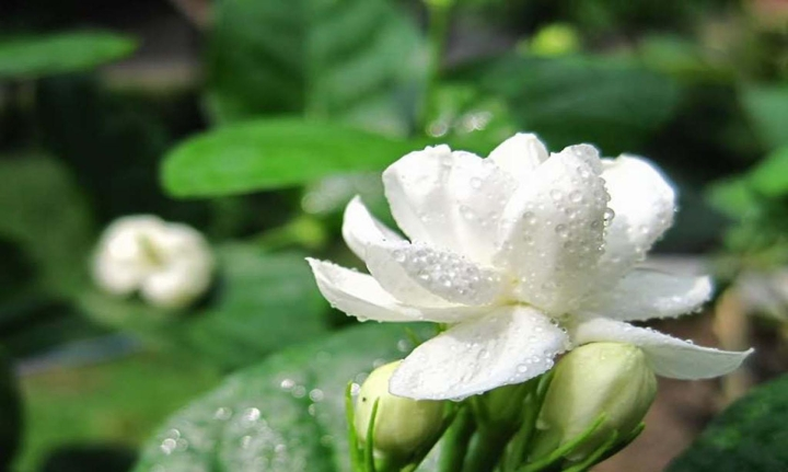Beautiful-Jasmine-with-Water-Drops